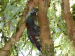 Endangered bush parrot called the Kaka.
