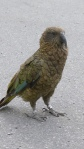 New Zealand's very own alpine parrot - The Kea