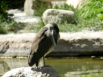 A night heron.